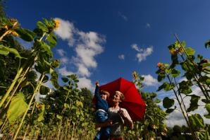 Sunflowers turn brownfield into green site