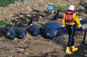 Chemical pollution of oceans may contribute to whales stranding