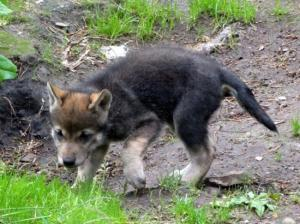 Herald Scotland: Highland Wildlife Park welcome six wolf cubs to the pack